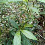 Psychotria viridis plants | Chacruna plants