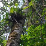 Croton lechleri tree