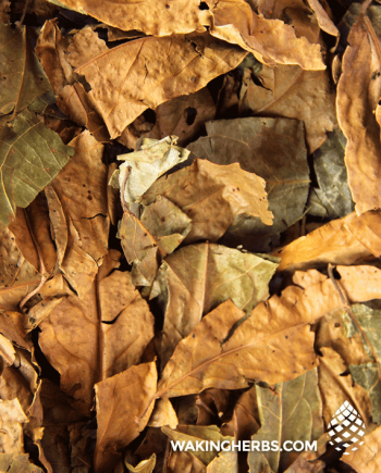 Diplopterys cabrerana (chaliponga Chalipanga leaf)