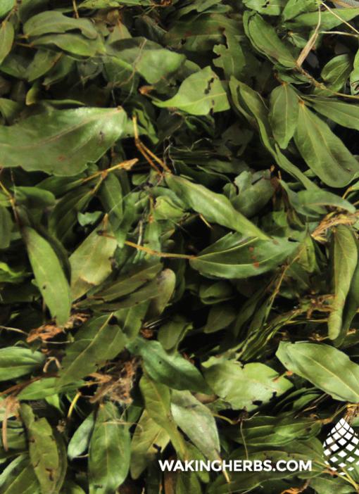 Calliandra_angustifolia_Bobinsana_leaf_close_up