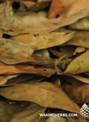 Ishpingo_leaf_close_up_02