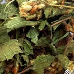 Calea Zacatechichi (Mexican Dream Herb)