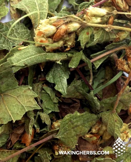 Calea Zacatechichi | Mexican Dream herb | Dreamherbs