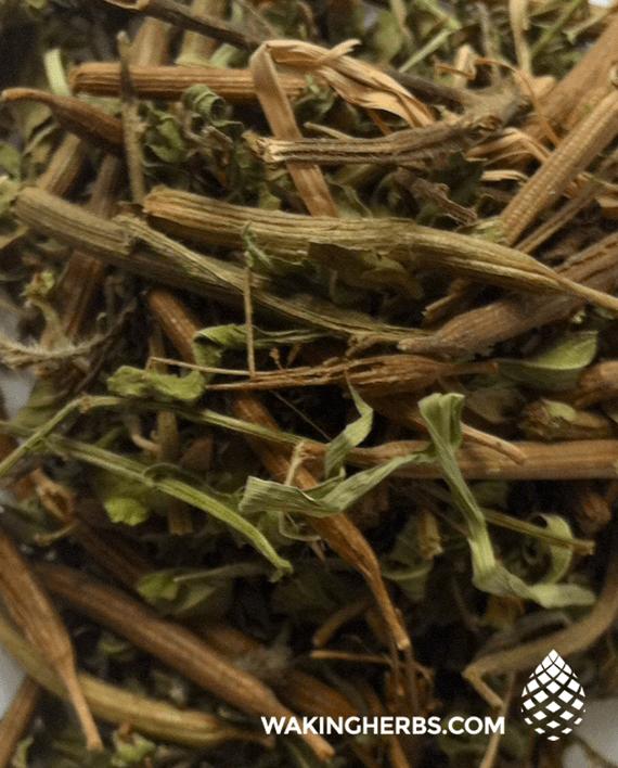 Heimia-salicifolia-(Sinicuichi)-1