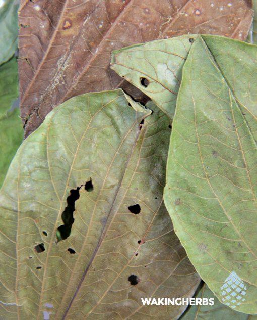 Bauhinia forticata | Pata de vaca | Cows foot leaf | Unha de vaca