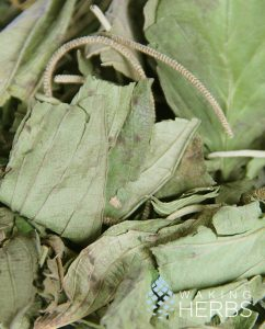 Annona muricata Graviola
