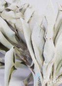 Salvia apiana   White sage 01