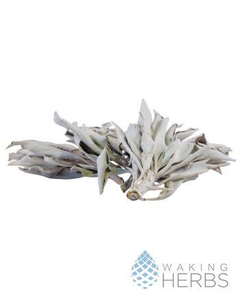 Salvia apiana | White sage