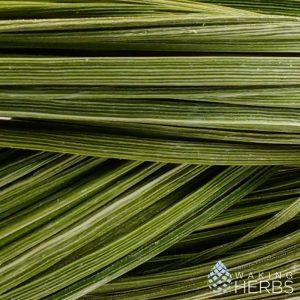 Hierochloe odorata | Wild Sweetgrass Braid | 60 / 70 cm