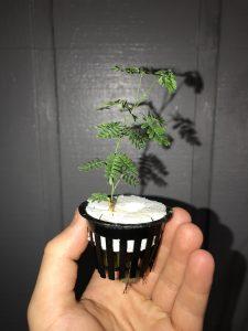 Viable Mimosa hostilis seeds