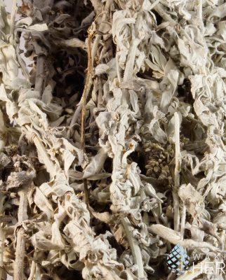 Artemisia ludoviciana | Dakota Sage | White Sagebrush | USA
