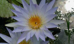 Nymphaea caerulea